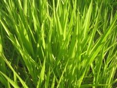 Pastagem de qualidade tem que ser com sementes agromax.